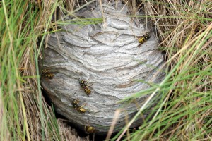 Ground Wasp Nest Extermination