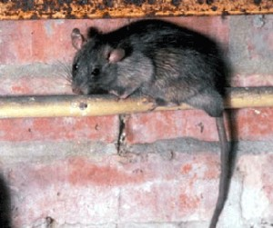 Lakeland Rodent Control