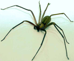 Lakeland Brown Recluse Removal